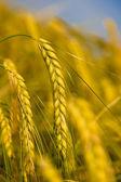 Yellow grain — Stock Photo