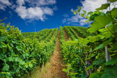 Vineyard rows in Germany — Stock Photo