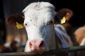 Animal: cow on farmland — Stock Photo