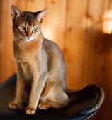 Young brown Abyssinian cat on char — Stock Photo