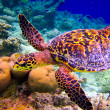 Hawksbill Turtle swiming like flying - Stock Photo