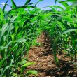 Row of corn on an agricultural field. — Stock Photo