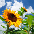 Fresh sunflower on blue sky as background — Stock Photo