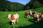 Cows on a green field on a suny day with blue sky — Stock Photo