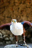 Portrait de l'aigle — Photo