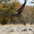 Girafe — Photo