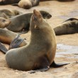 Brown Fur Seal (Arctocephalus pusillus) — Stockfoto