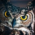 Look me - Athene noctua — Stock Photo