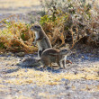 Cape Ground Squirrel (Xerus inauris) — Stock Photo