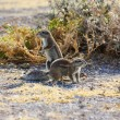 Cape Ground Squirrel (Xerus inauris) — 图库照片