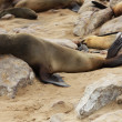 Brown Fur Seal (Arctocephalus pusillus) — Foto de Stock