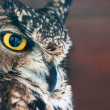 Stock Photo: Look me - Athene noctua