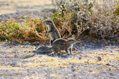 Cape Ground Squirrel (Xerus inauris) — Foto Stock