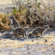 Cape Ground Squirrel (Xerus inauris) — Stockfoto