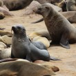 Stock Photo: Brown Fur Seal (Arctocephalus pusillus)