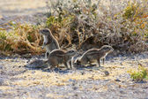 Cape Ground Squirrel (Xerus inauris) — Foto de Stock