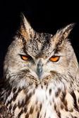 Royal owl - Bubo Bubo — Stock Photo