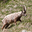 Capra Ibex - Italian Alps — Stock Photo