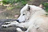 Lobo branco — Fotografia Stock
