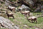 Capra Ibex - Italian Alps — Stock Photo
