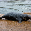 Stock Photo: Grey seal