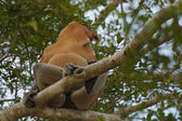 Proboscis Monkey in Brunei — Stock Photo