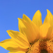 Stock Photo: Sunflower with Bee