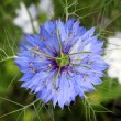Stock Photo: Blue Bloom