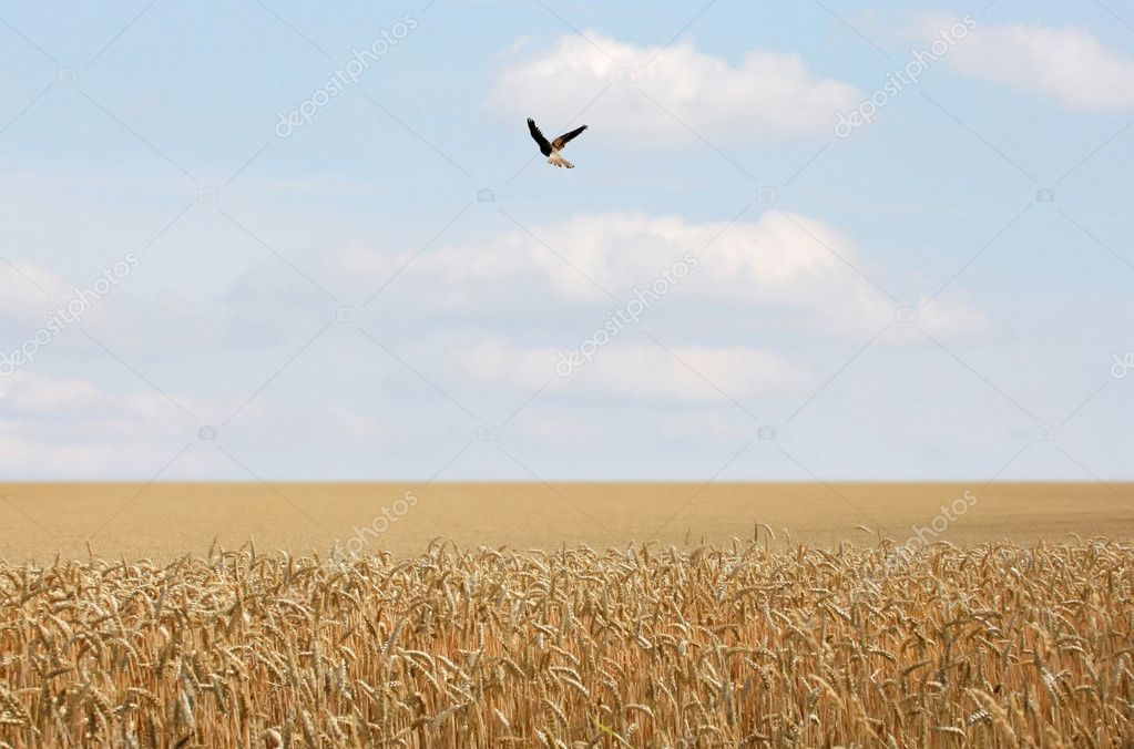 This image shows a cornfield with a flying bird — Stock Photo #2860526