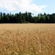 Cornfield with Forest — Stock Photo #2870952