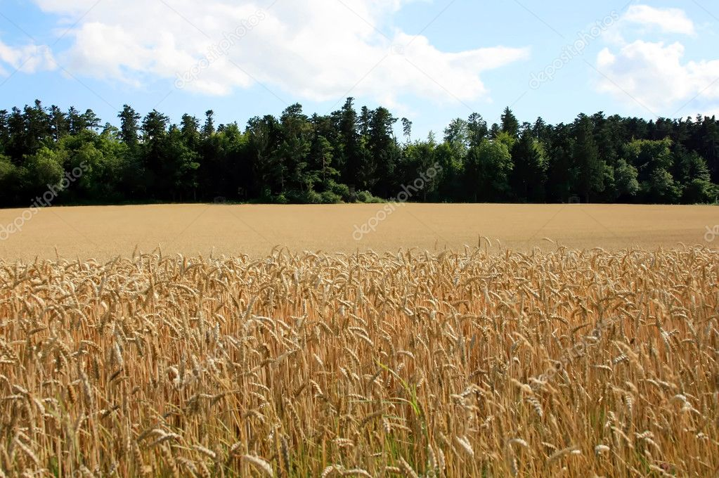 This image shows a cornfield with forest in background — Stock Photo #2870952