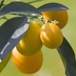 Stock Photo: Kumquat