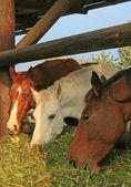 Guzzling Horses — Stock Photo