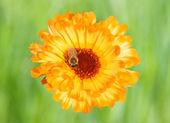Marigold with Bee — Stock Photo