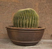 Cactus in een vaas — Stockfoto