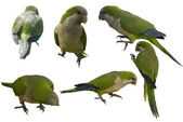 Monk parakeets — Stock Photo