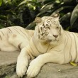 Resting white tiger — Stock Photo