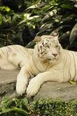 Resting white tiger — Stock Photo