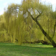 Spring. Willow — Stock Photo #2943473