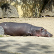 Hippo — Stock Photo #2961538