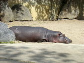 Hippo — Foto de Stock