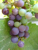 Grapes cluster — Stock Photo