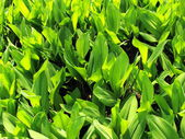 Dense leaves of a lily of the valley — Stock Photo