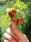 Wild strawberry in a female hand — Stock Photo