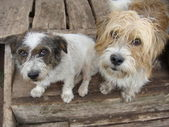 Mongrel dogs — Stock Photo