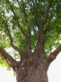 Old oak — Stock Photo