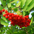 Brush of rowanberry - Stock Photo