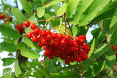 Brush of rowanberry — Stock Photo