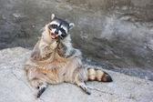 Sitting on the rock raccoon — Stock Photo