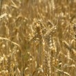 Stock Photo: Harvest Field